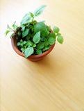 Pianta in flowerpot sulla tabella di legno Fotografia Stock