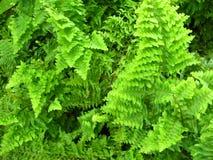 Pianta, foglie verdi e rami di cordifolia del Nephrolepis Fotografia Stock