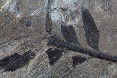 Pianta fossile Immagine Stock Libera da Diritti
