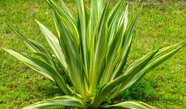 Pianta fragrante gialla verde della dracaena in un giardino immagine stock libera da diritti
