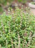 Pianta fresca del fiore del basilico nel giardino Fotografie Stock