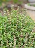Pianta fresca del fiore del basilico nel giardino Fotografia Stock