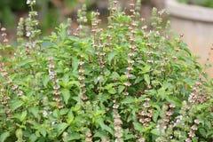Pianta fresca del fiore del basilico nel giardino Fotografie Stock Libere da Diritti