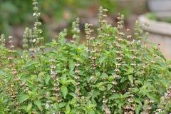 Pianta fresca del fiore del basilico nel giardino Fotografia Stock Libera da Diritti