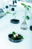 Pianta geneticamente modificata provata nella capsula di Petri. Fotografie Stock
