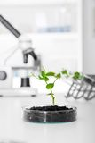 Pianta geneticamente modificata provata nella capsula di Petri Immagine Stock