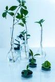 Pianta geneticamente modificata provata nella capsula di Petri Laboratorio di ecologia Fotografia Stock Libera da Diritti
