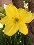 Pianta gialla del fiore dell'emerocallide Fotografie Stock Libere da Diritti