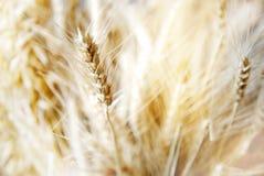 Pianta gialla del grano del grano dell'oro per alimento biologico sano nella s morbida Immagine Stock Libera da Diritti