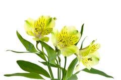 Alstromeria giallo Immagine Stock