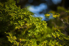 Pianta giapponese in giardino fotografie stock libere da diritti