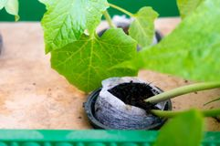 Pianta idroponica che cresce in vaso della rete della fibra di cocco dei Cochi Immagini Stock Libere da Diritti
