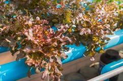 Pianta idroponica della quercia rossa Fotografia Stock