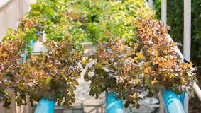 Pianta idroponica della quercia rossa Immagini Stock Libere da Diritti
