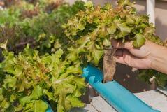 Pianta idroponica della quercia verde Fotografie Stock
