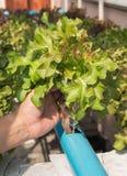 Pianta idroponica della quercia verde Fotografia Stock Libera da Diritti