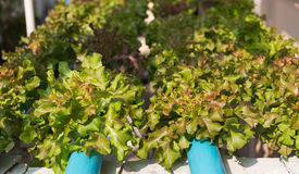 Pianta idroponica della quercia verde Fotografia Stock