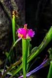 Pianta il exornata carnivoro di sarracenia del fiore Fotografia Stock