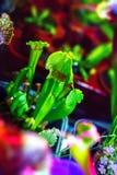 Pianta il exornata carnivoro di sarracenia del fiore Fotografia Stock Libera da Diritti