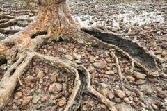 Pianta il vecchio albero della mangrovia Immagine Stock