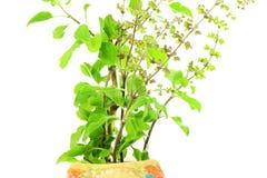 Pianta indiana dell'erba del basilico santo o di tulsi medicinale su fondo bianco Fotografie Stock Libere da Diritti