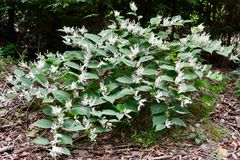 Pianta knotweed giapponese di fioritura Immagini Stock Libere da Diritti