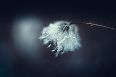 Pianta lanuginosa bianca su fondo scuro Immagine Stock Libera da Diritti