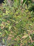 Pianta leaved verde con i suggerimenti di rosso Fotografia Stock Libera da Diritti