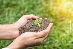 Pianta in mani con erba nel fondo Piantatura dei semenzali Fotografia Stock