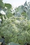 Pianta matura dei broccoli Varietà di estate Immagine Stock Libera da Diritti
