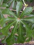 Pianta medicinale Fotografia Stock