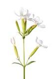 Pianta medicinale della saponella isolata su bianco Fotografie Stock