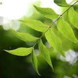 Pianta medicinale - foglie del neem Fotografie Stock Libere da Diritti