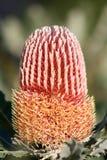 Pianta natale di Menseii di Banksia australiano Fotografia Stock Libera da Diritti