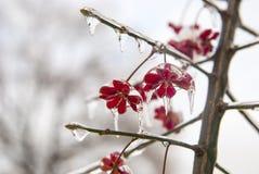 Pianta nel ghiaccio Fiori rossi congelati nell'inverno Fotografie Stock Libere da Diritti
