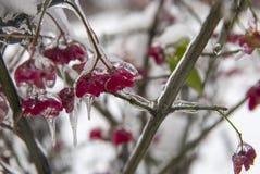Pianta nel ghiaccio Fiori rossi congelati nell'inverno Fotografie Stock