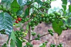 Pianta organica del caffè con la maturazione dei fagioli Immagini Stock Libere da Diritti