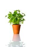 Pianta organica del prezzemolo che cresce in vaso su fondo bianco Fotografia Stock