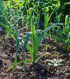 Pianta organica della cipolla in un orto. Fotografia Stock