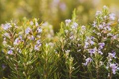 Pianta ornamentale con i fiori porpora, Oeiras Portogallo dei rosmarini fotografie stock