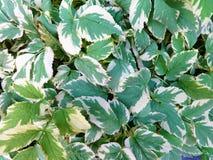 Pianta ornamentale con le foglie decorative Fotografie Stock
