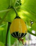 Pianta ornamentale della zucca Fotografia Stock Libera da Diritti