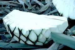 pianta per la produzione del tequi Fotografia Stock