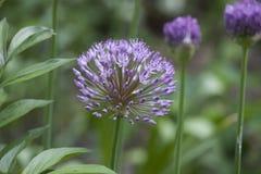 Pianta perenne - allium Fotografie Stock