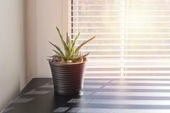 Pianta in piccolo vaso su fondo della finestra con i ciechi fotografia stock