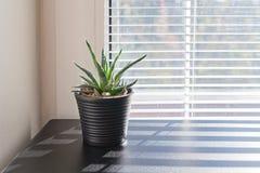 Pianta in piccolo vaso su fondo della finestra con i ciechi fotografia stock libera da diritti