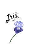 Pianta porpora del fiore dell'iride dell'illustrazione dell'acquerello di vettore Fiore dell'iride del Wildflower in uno stile de Immagine Stock Libera da Diritti