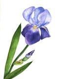 Pianta porpora del fiore dell'iride dell'illustrazione dell'acquerello Fiore dell'iride del Wildflower in uno stile dell'acquerel Immagini Stock