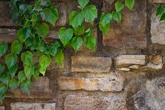 Pianta rampicante con le foglie verdi sulla vecchia parete di pietra immagine stock
