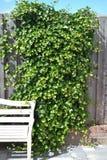 Pianta rampicante su un recinto di legno con un banco bianco Immagini Stock